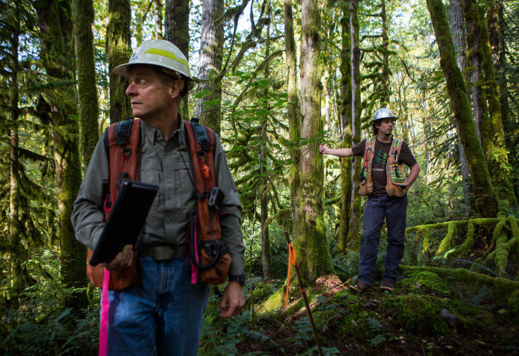 Department of Natural Resources district manager Al McGuire (left) and unit forester Tyson Whiteid stand Wednesday next to trees marked for a proposed timber harvest near Gold Bar. (Olivia Vanni / The Herald)
