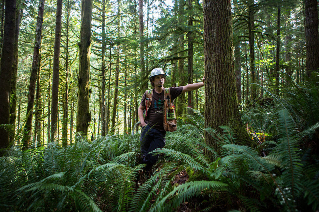 Tyson Whiteid stands in a large patch of ferns on Wednesday where a proposed road will be placed for the Middle May timber cut near Gold Bar, Wash. (Olivia Vanni / The Herald)