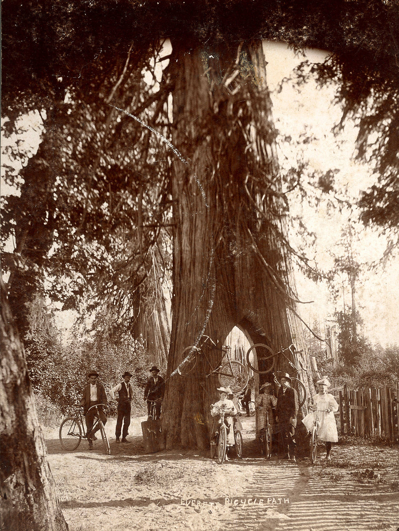 "Snohomish Bicycle Tree, ca. 1900. The photo is titled ""Everett Bicycle Path,"" but it is actually the famous Bicycle Tree south of Snohomish, a favorite destination for decades of cyclists in the area. It was located next to the juntion of present-day S. R. 9 and the Airport/Springhetti roads, across the highway from the end of the Marsh Road. (Photographer: George W. Kirk)"