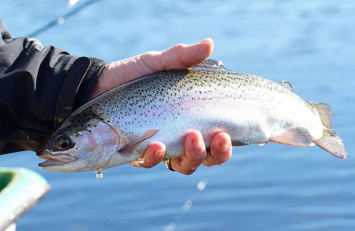 A nice rainbow trout is landed and released after taking a chironomid fished under a strike indicator. (Mike Benbow photo)