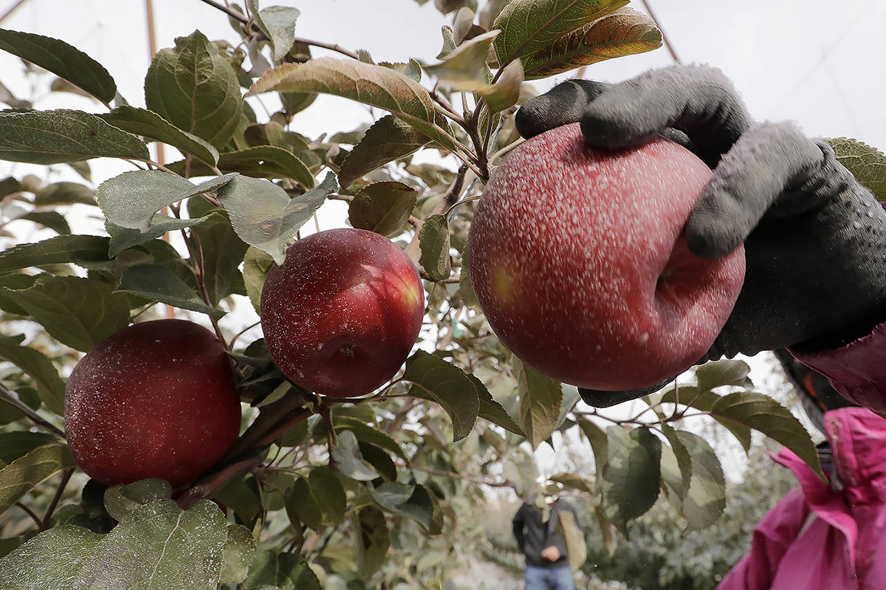 A Cosmic Crisp apple, partially coated with a white kaolin clay to protect it from sunburn, is picked at an orchard in Wapato on Oct. 15. (AP Photo/Elaine Thompson)