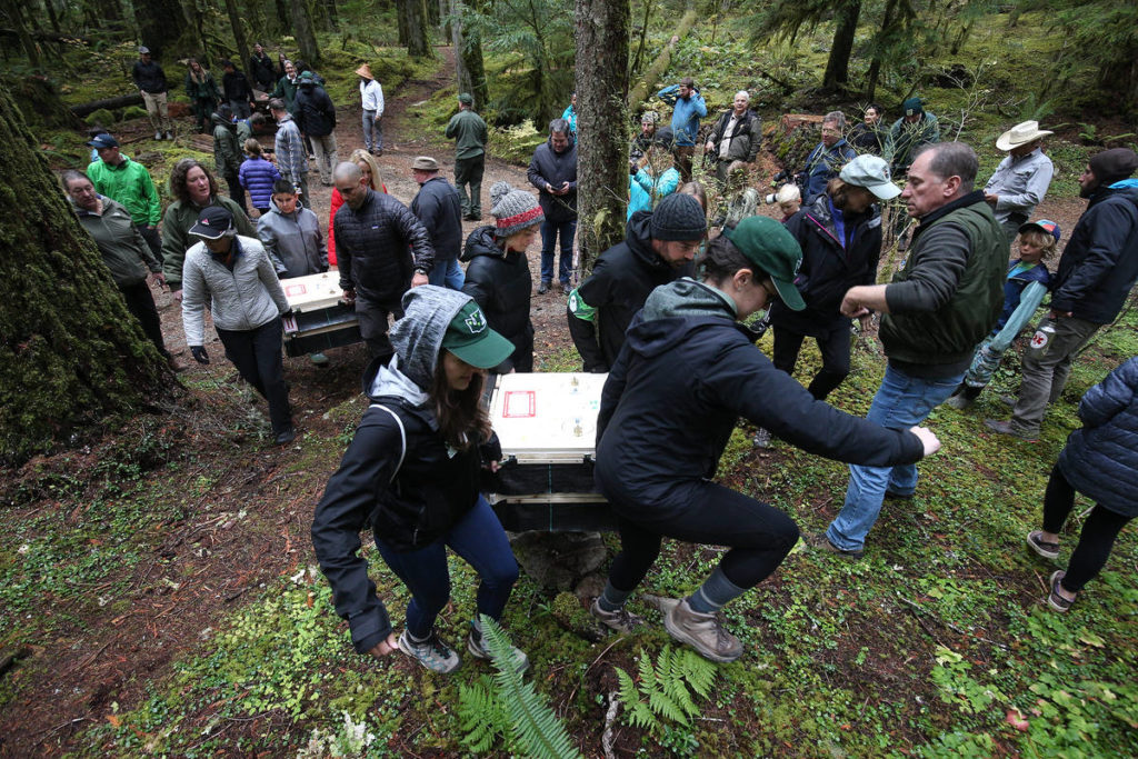 Eight fishers, held in special boxes, are moved into position before the animals are released into the Mount Baker-Snoqualmie National Forest Oct. 24. (Andy Bronson / The Herald)