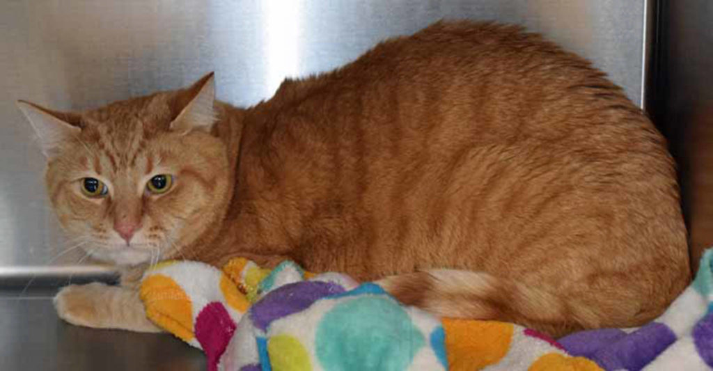 Witten is here because his caretaker passed away. He is used to living a calm, quiet household with another respectful cat. Witten is the shy, sensitive type and will need a home that can respect his sensitive nature. He enjoys the occasional play session and lounging around. (Arleigh Movitz/Everett Animal Shelter)