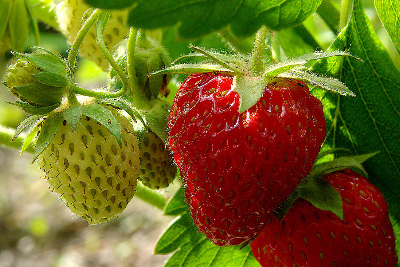 Perfect pick: You can grow your own berries in your backyard