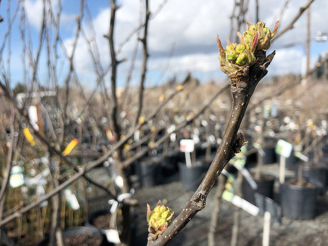 Fruit trees should be pruned now, even if they are starting to push flower buds. (Nicole Phillips)