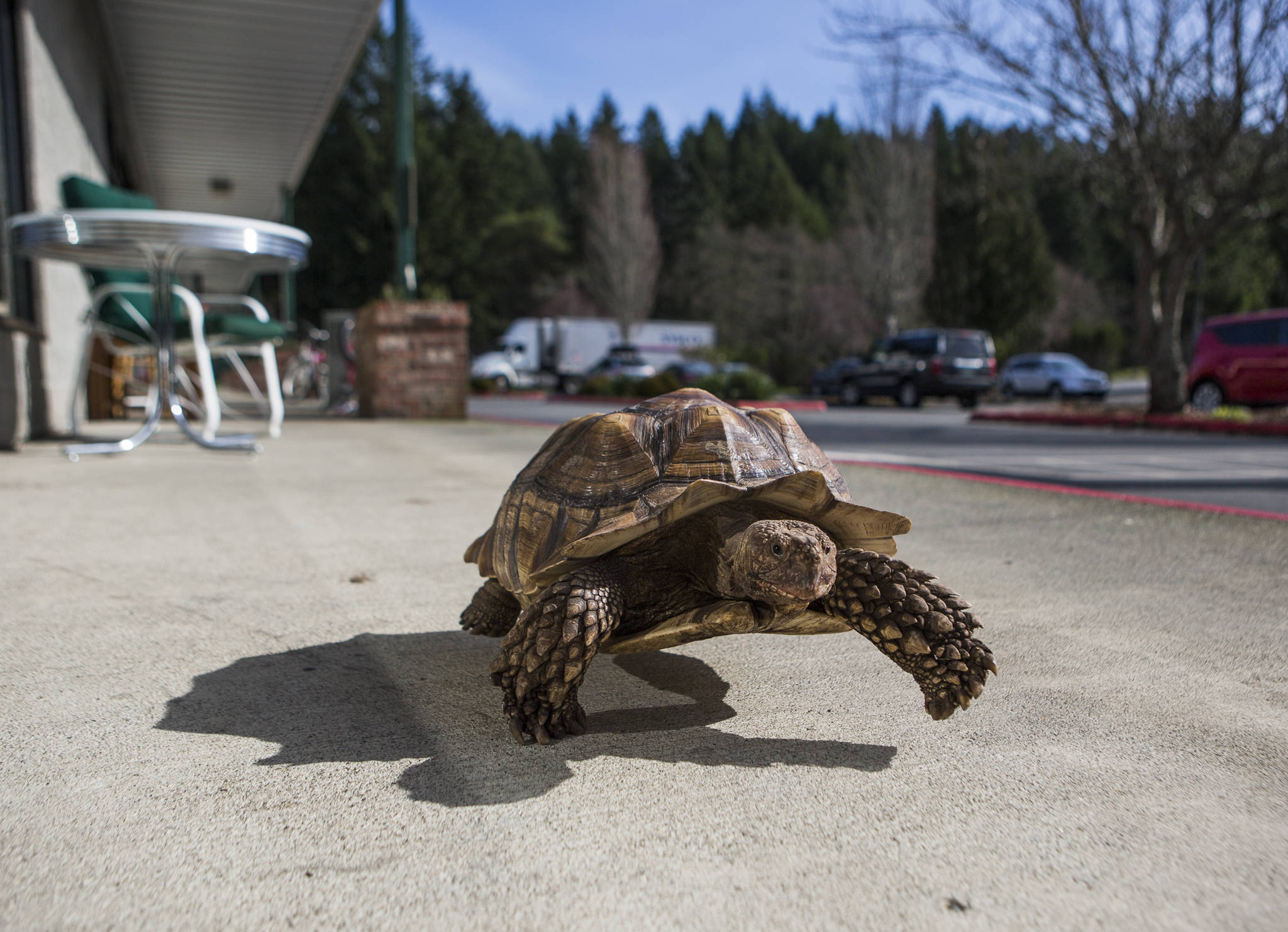 Raja, a 9-year-old rescued sulcata tortoise, makes his way along the sidewalk in front of Critters & Company Pet Center where he lives in Clinton. (Olivia Vanni / The Herald)
