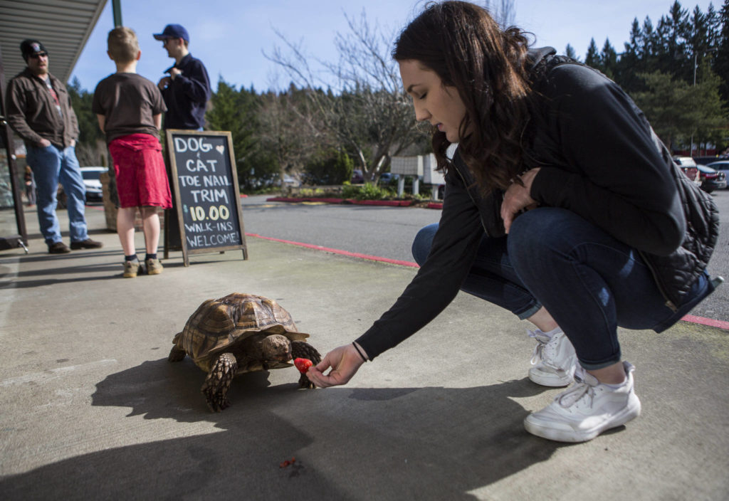 Melody Wilkie feeds Raja a strawberry on Feb. 27. Raja is owned by Melody's mother, Debbie Wilkie, but because of tortoises' long life spans he will eventually belong to Melody. (Olivia Vanni / The Herald)