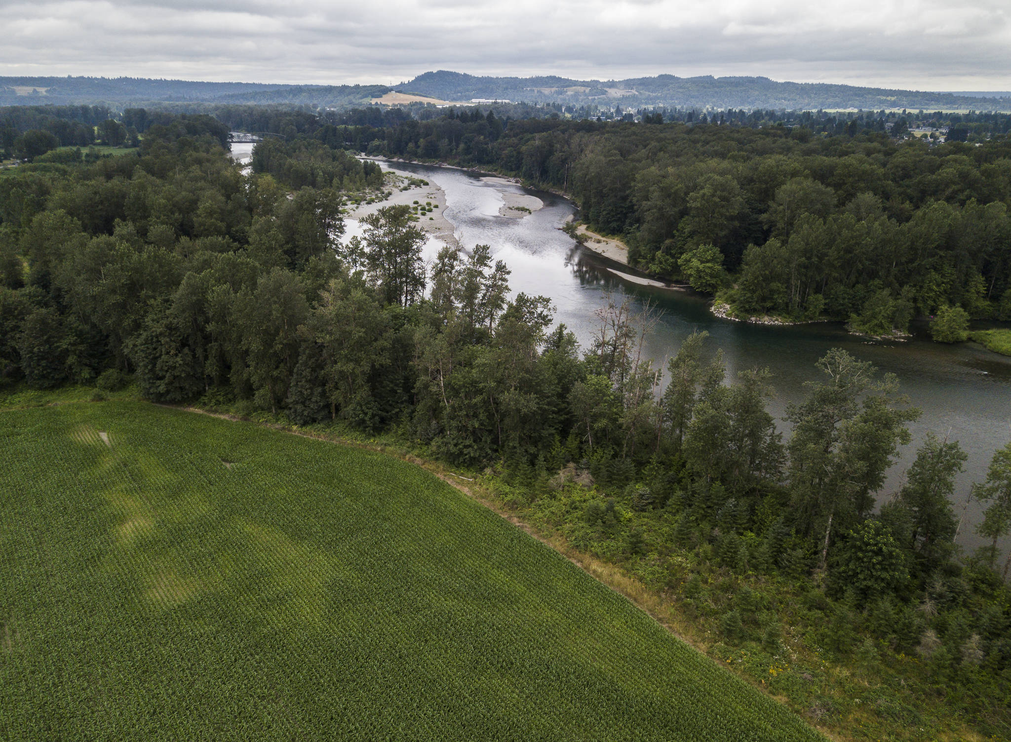 Cornfields border the 3.26 miles of river shoreline that the Tulalip Tribes are set to purchase from the PCC Farmland Trust. (Olivia Vanni / The Herald)