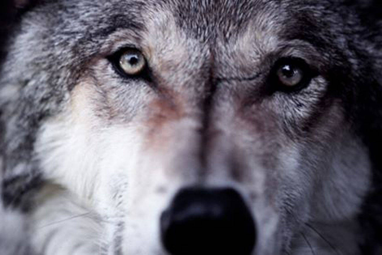 """Watch the documentary """"Wolf: An Ancient Spirit Returns"""" on Aug. 4 at the Edmonds Center for the Arts. (Bullfrog Films)"""