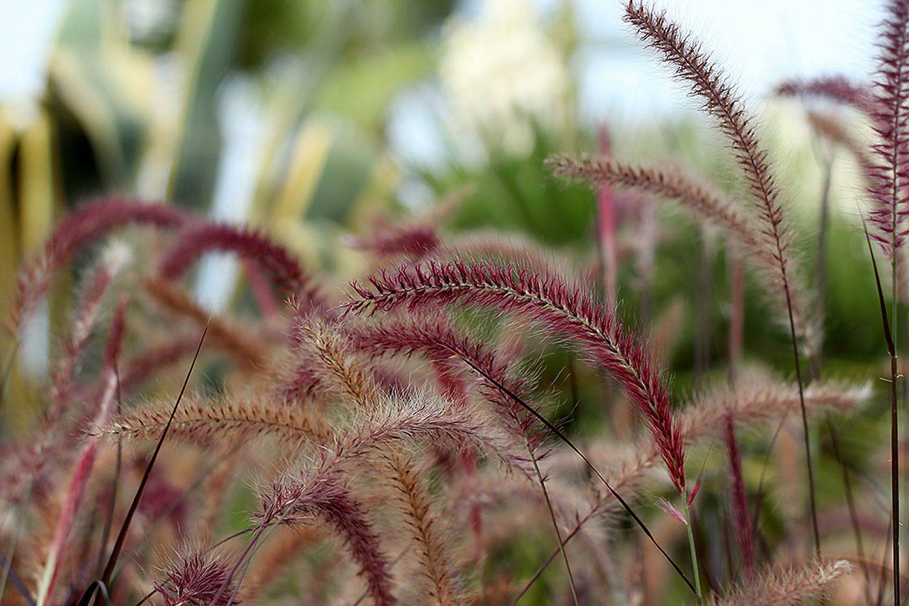This oramental grass features fluffy spikes of purple that will exude drama in any arrangement. (Getty Images)