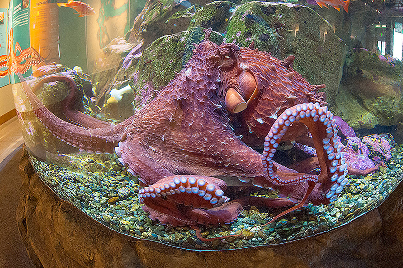 The Seattle Aquarium has welcomed back two Giant Pacific octopi — aptly named Kraken and Ink Jet — to its Puget Sound exhibits. (Seattle Aquarium)