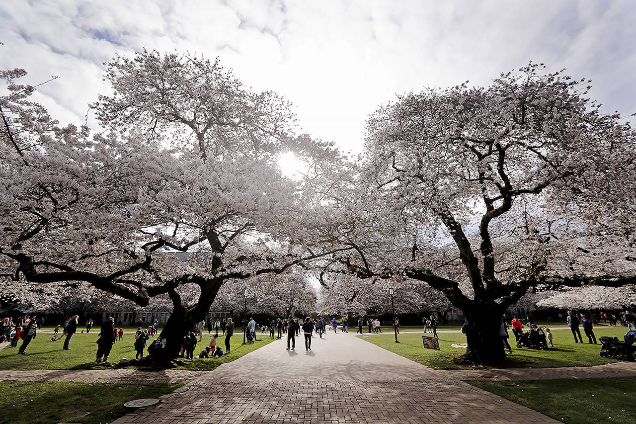People walk past cherry blossoms in March 2018 at the University of Washington. (AP Photo/Elaine Thompson, file)