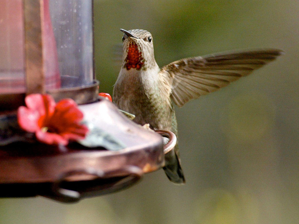 An Anna's hummingbird flutters in for a morning drink at a feeder hanging outside a Mountlake Terrace home. (Michael O'Leary / Herald file)