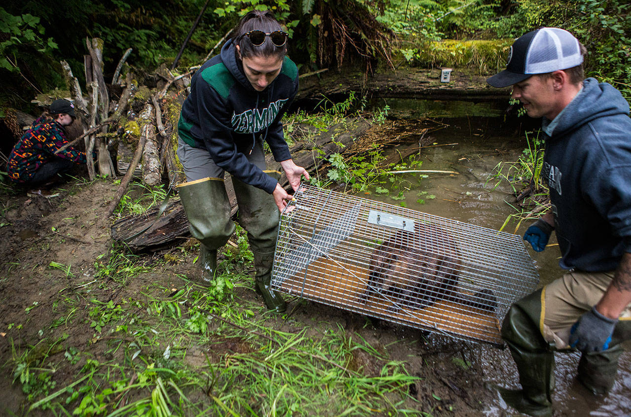 Molly Alves (left) and Dylan Collins relocate a beaver to the entrance of a temporary man-made den in 2019 near Sultan. Wildlife biologists worked with the Tulalip Tribes to move nuisance beavers to new homes. (Olivia Vanni / Herald file)