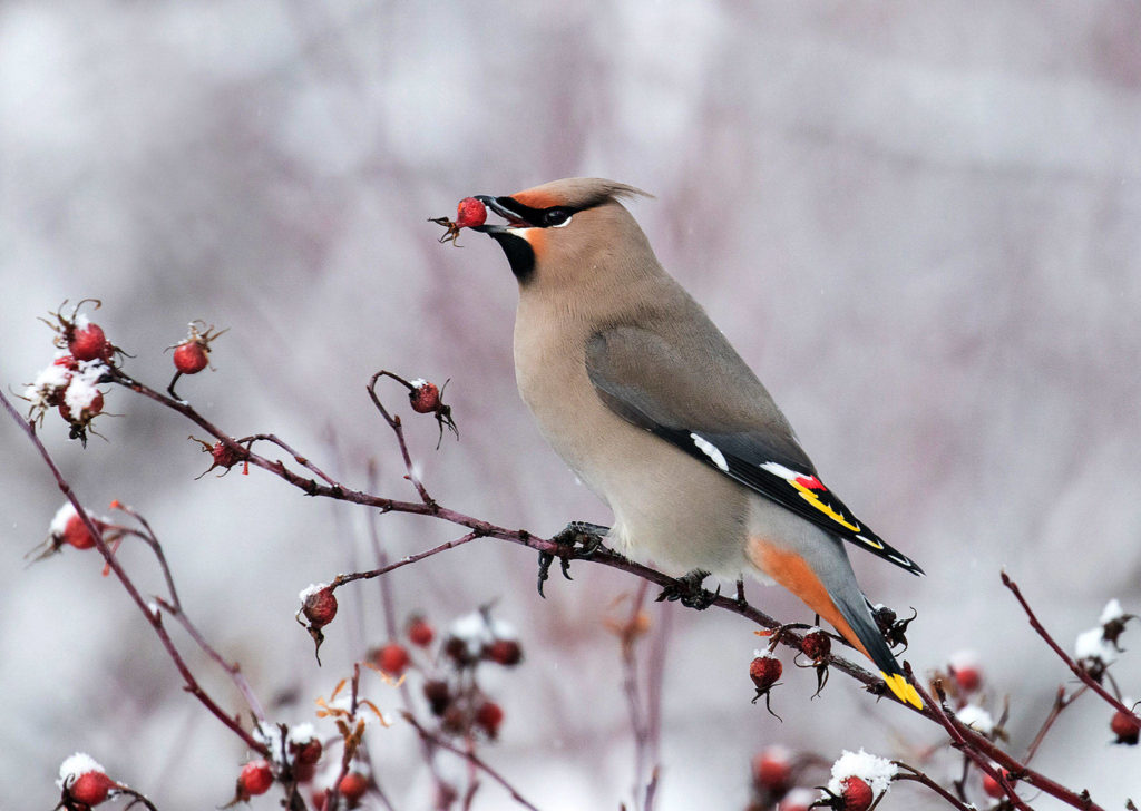 Flora and Fauna, first place: This photo of a Bohemian waxwing eating rose hips by Janet Bauer landed her first place in the Flora and Fauna category.