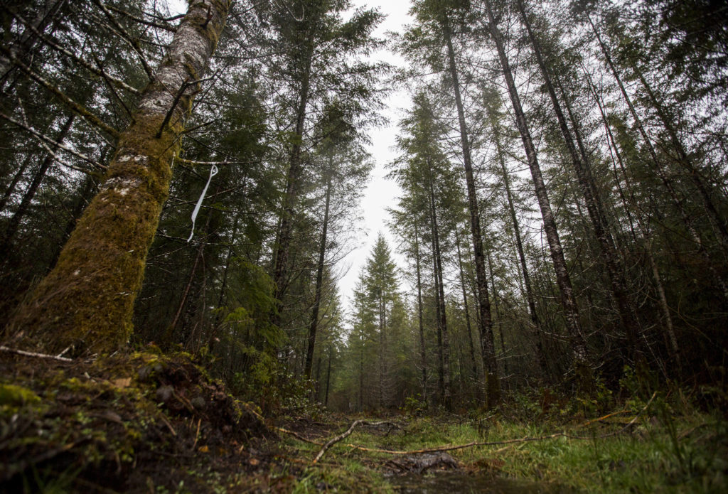 An access road leads into plot of land located in north Darrington that could potentially be used to build a 30-acre Wood Innovation Center, which will house CLT manufacturing and modular building companies. (Olivia Vanni / The Herald)