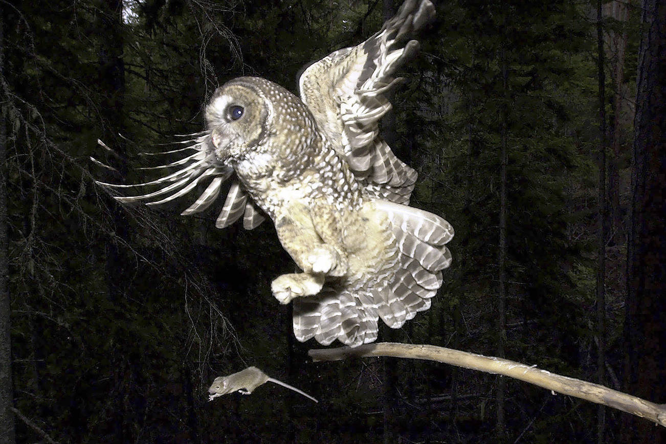 "FILE - In this May 8, 2003, file photo, a Northern Spotted Owl flies after an elusive mouse jumping off the end of a stick in the Deschutes National Forest near Camp Sherman, Ore. The Trump administration has slashed more than 3 million acres of protected habitat for the northern spotted owl in Oregon, Washington and northern California, much of it in prime timber locations in Oregon's coastal ranges. Environmentalists are accusing the U.S. Fish and Wildlife Service under President Donald Trump of taking a ""parting shot"" at protections designed to help restore the threatened owl species. (AP Photo/Don Ryan, File)"