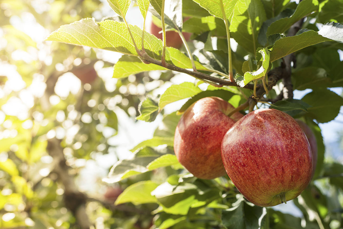 "The Snohomish County Master Gardner Foundation presents a class on ""Raising Apple and Pear Trees in Western Washington"" Jan. 27 via Zoom. (Getty Images)"