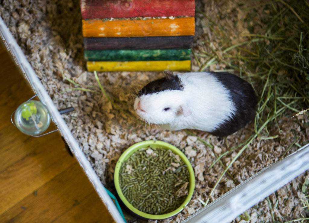 A rescue guinea pig looks up from its pen at Bigfoot's Guinea Pig Rescue in Everett. (Olivia Vanni / The Herald)