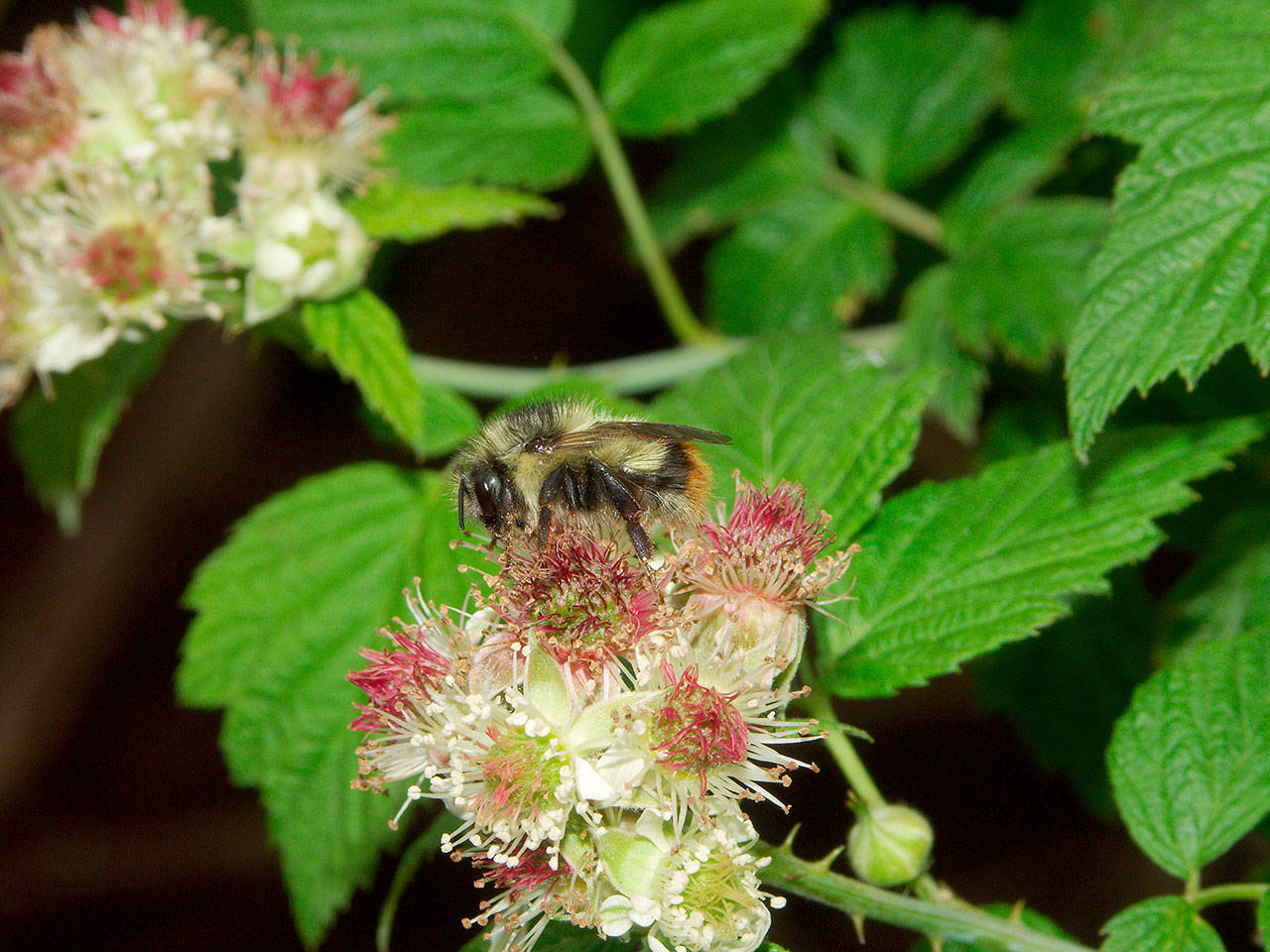 """The Snohomish Conservation District is hosting a """"Landscaping for Wildlife: Creating Habitat for Beneficial Animals Insects"""" webinar Feb. 20 via Zoom. (Mace Vaughan)"""