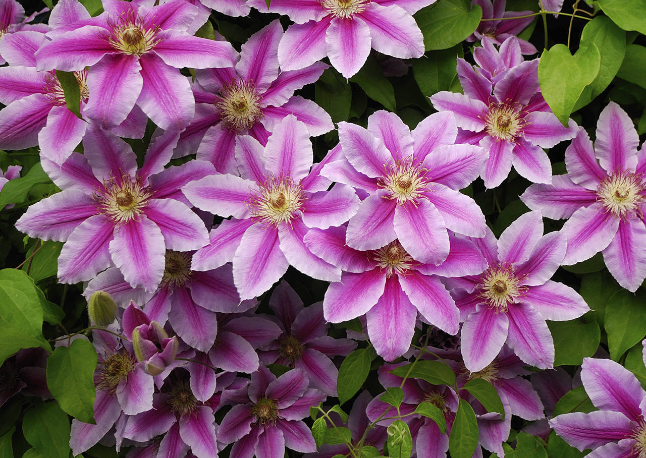 """The Snohomish County Master Gardner Foundation is hosting a """"Clematis — Selection and Design with the Queen of Vines"""" webinar on March 5 via Zoom. (Getty Images)"""