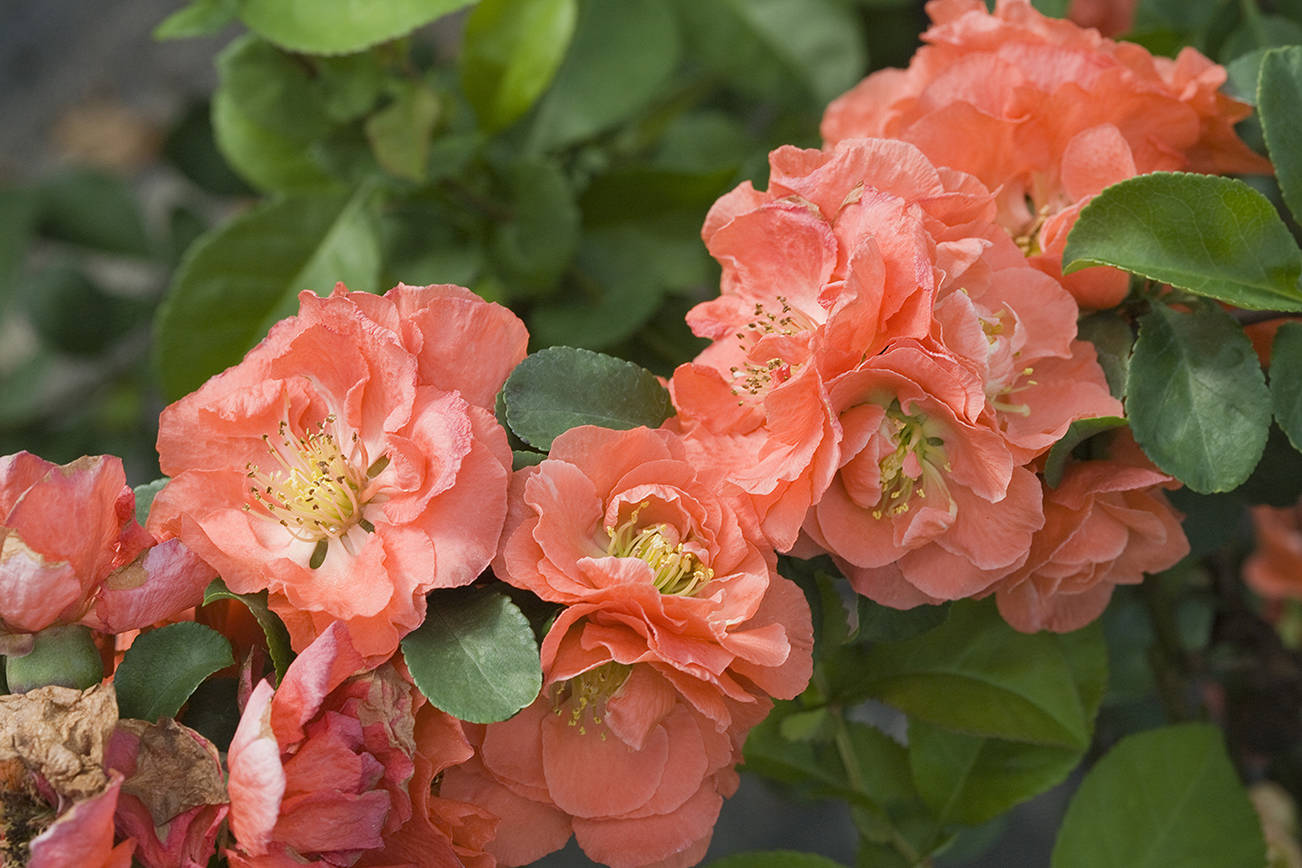 """You can find the new """"Double Take"""" flowering quince in four different colors, including peach. (Proven Winners)"""