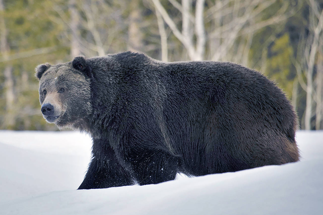 In this 2019 photo provided by the U.S. Fish and Wildlife Service is a grizzly bear (Ursus arctos horribilis) in Grand Teton National Park, Wyo. Grizzly bears are slowly expanding in the northern Rocky Mountains but scientists say they need continued protections and have concluded no other areas of the country would be suitable for the fearsome animals. The Fish and Wildlife Service on Wednesday, March 31, 2021, released its first assessment in almost a decade on the status of grizzly bears in the contiguous U.S. (Joe Lieb/USFWS via AP)