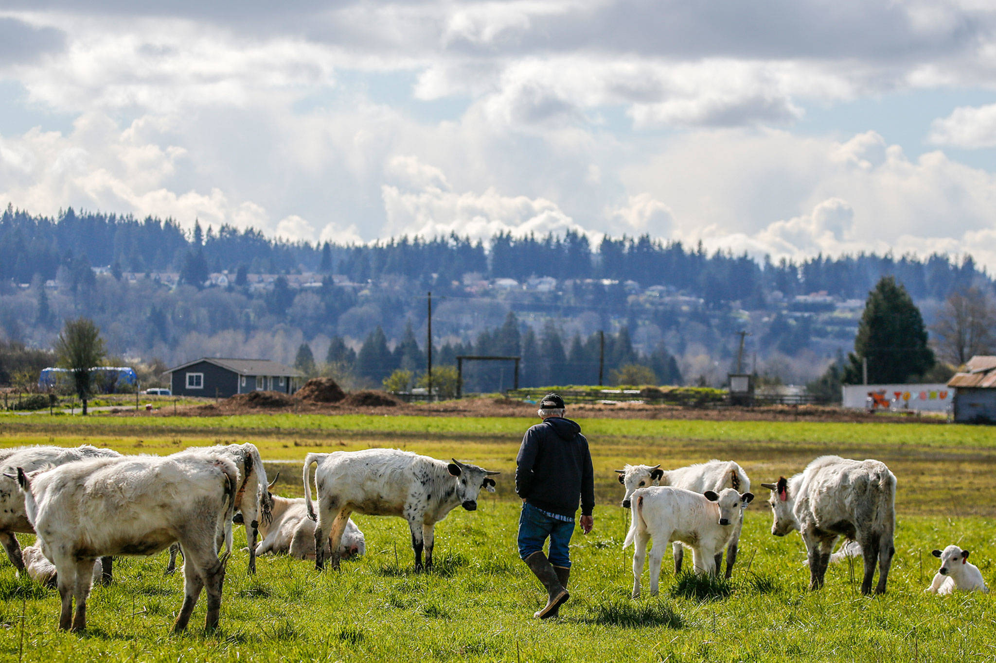 DeGroot discovered the ancient white park breed in a Seed Savers catalog. (Kevin Clark / The Herald)