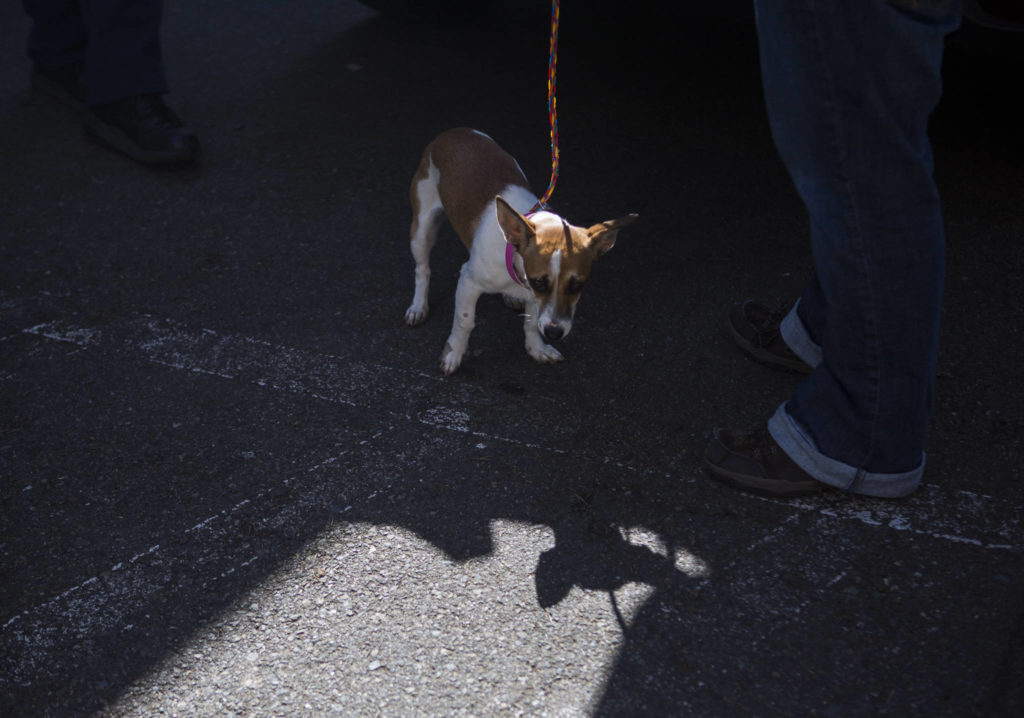 A dog transported to PAWS is taken on a walk Tuesday in Everett. (Olivia Vanni / The Herald)