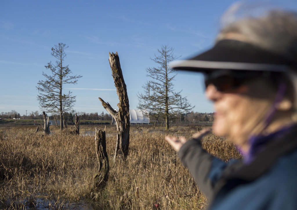 Along muddy ground in Marysville, geologist Jody Bourgeois points to stressed or dying trees — a possible sign that land is prone to liquefy in an earthquake. (Olivia Vanni / The Herald)