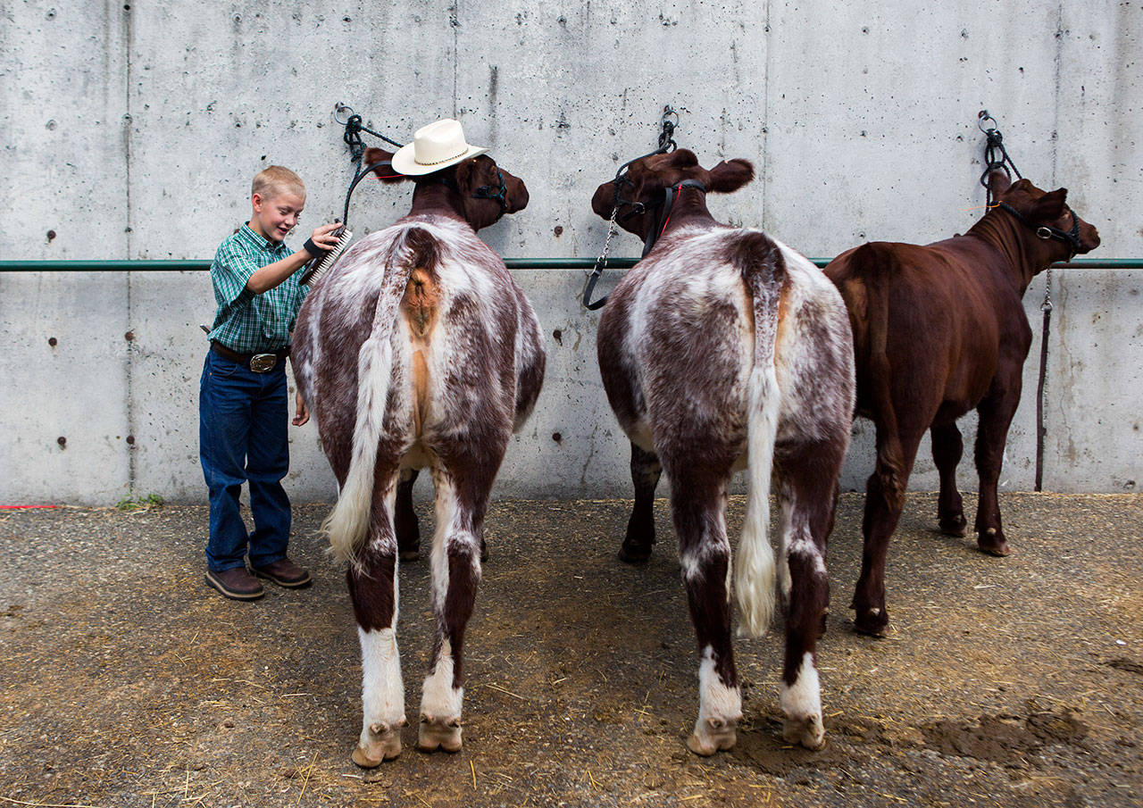 Douglas Ryner brushes twin cows Thelma and Louise at the Evergreen State Fair on Sept. 1, 2019, in Monroe. (Olivia Vanni / Herald file)