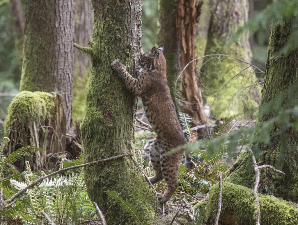 One of three bobcats that were orphaned scratches a tree to sharpen its claws after after leaving a crate and heading back into the wild Thursday near Acme in Whatcom County. (Andy Bronson / The Herald)