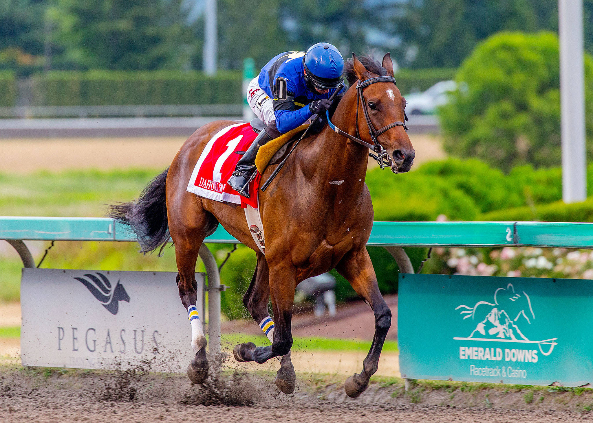 Daffodil Sweet, last year's champion 3-year-old filly, will be in action this week at Emerald Downs. (Photo courtesy of Emerald Downs)