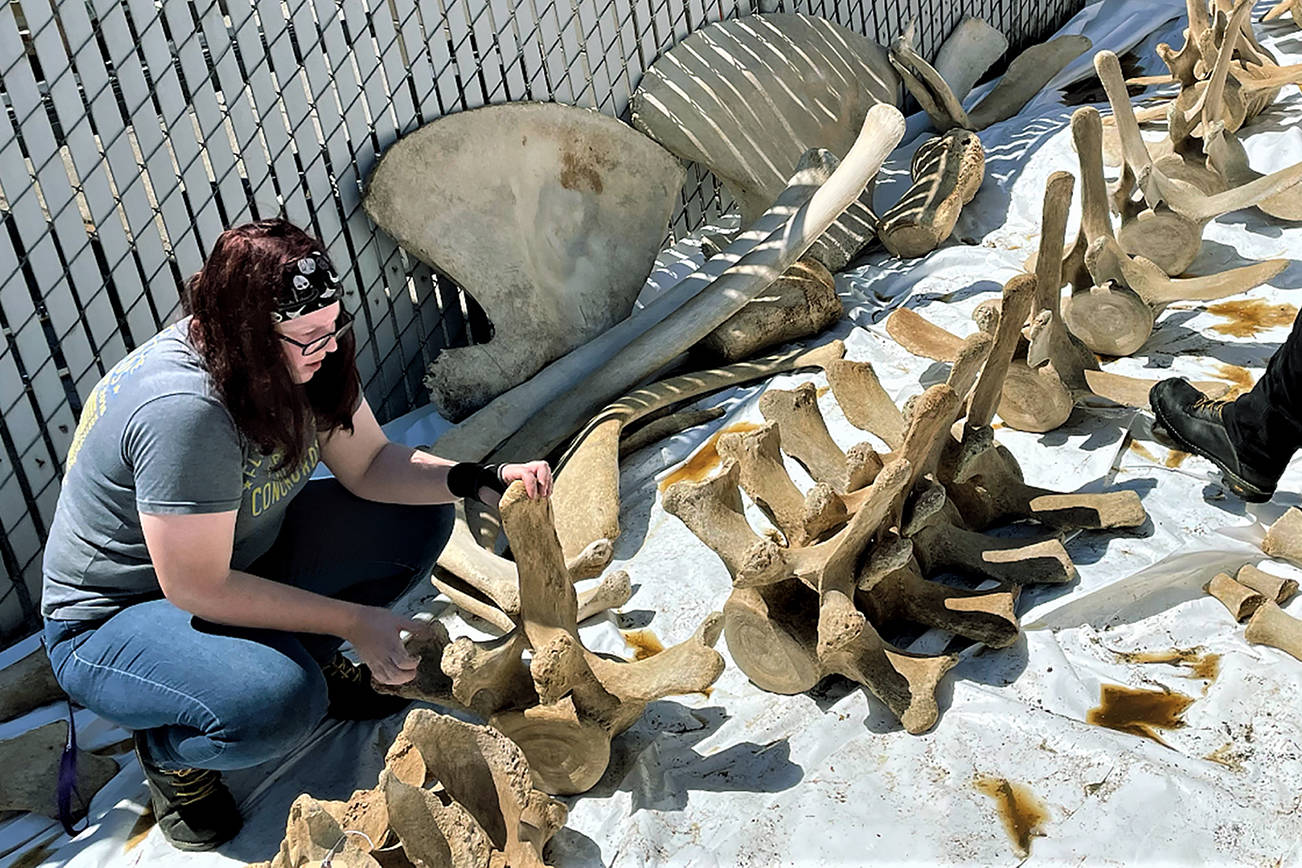 Bri Gabel joins volunteers and Imagine Children's Museum staff as they clean the bones of a gray whale at a Mukilteo area industrial site early this month. The whale died in 2019. The bones will be part of an exhibit Gabel is designing for the museum's addition, which is due to open in 2022. (Julianne Diddle photo)