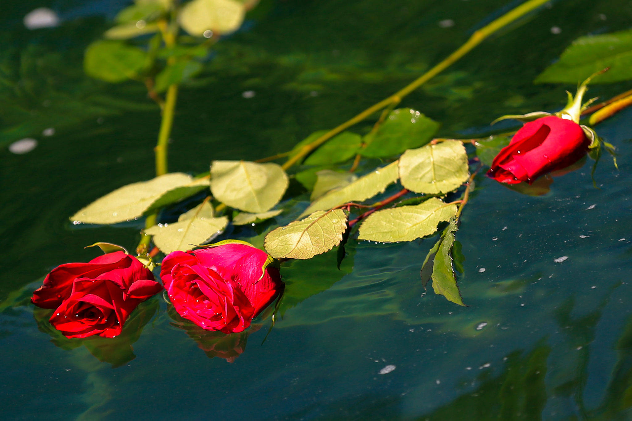 Roses float in the Skykomish River at Eagle Falls in memory of Devin Shelby. (Kevin Clark / The Herald)