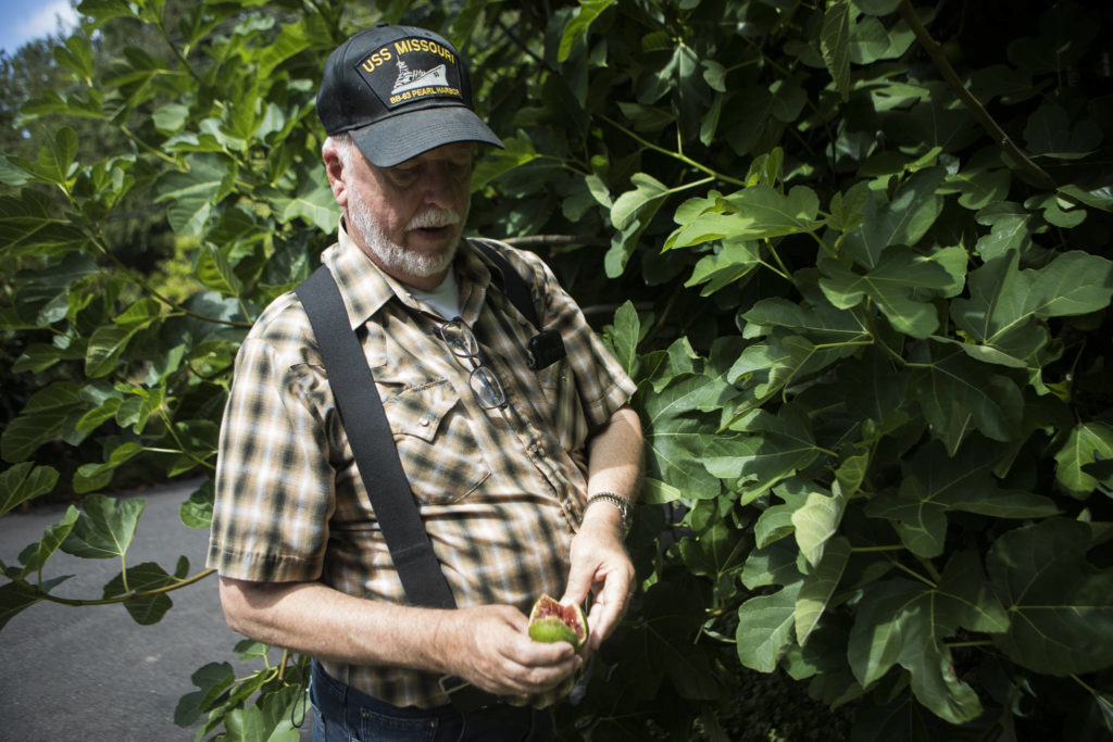 Wally Harper planted a fig tree in his Mukilteo yard about 25 years ago and every year reaps the bounty of more than he can eat. Fresh figs are highly perishable. (Olivia Vanni / The Herald)