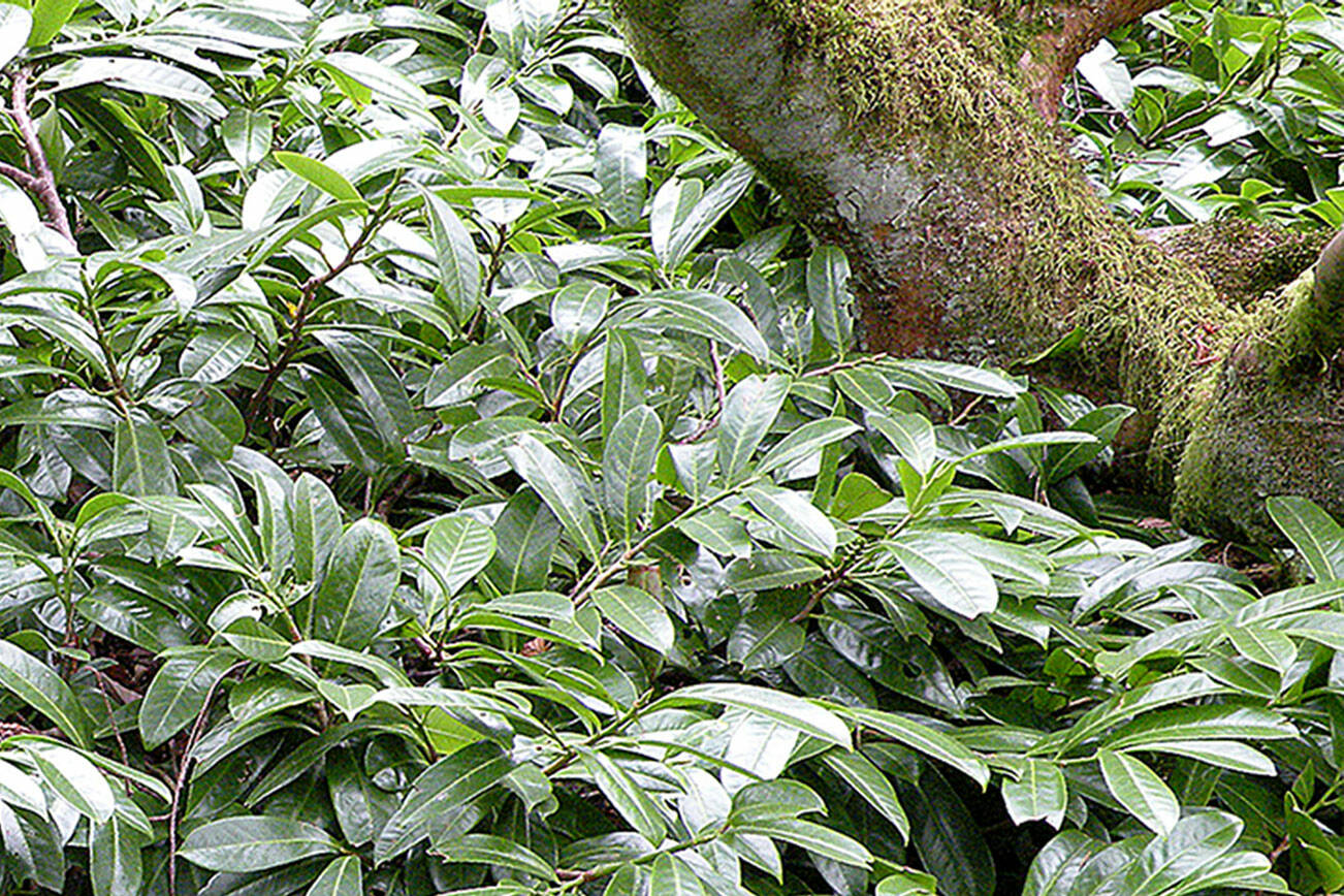 """Plant """"Mount Vernon"""" as a low informal bed border or small hedge, or as a groundcover under trees and large shrubs.(Rick Peterson)"""