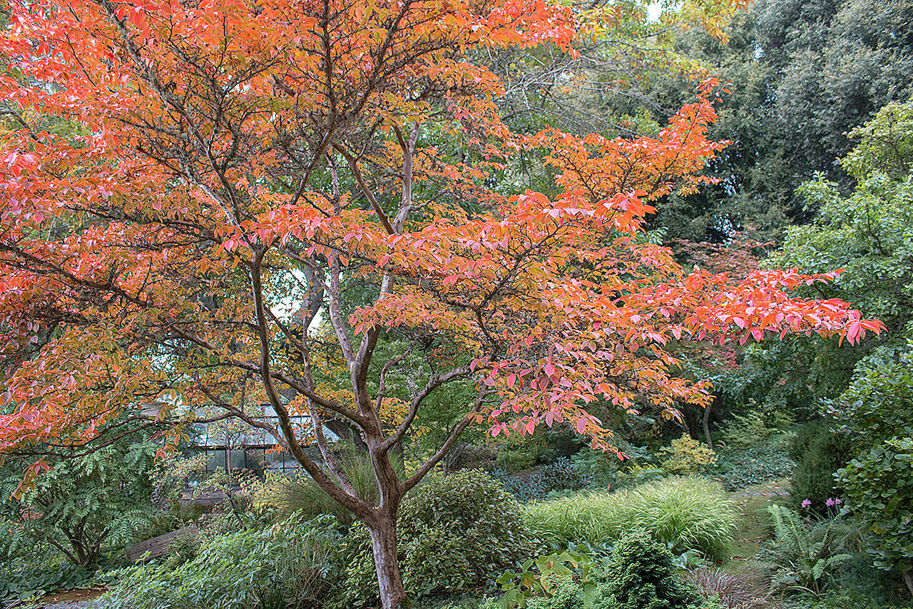 Japanese stewartia's dark green leaves become a riot of saturated oranges and flaming reds in the fall. (Richie Steffen)