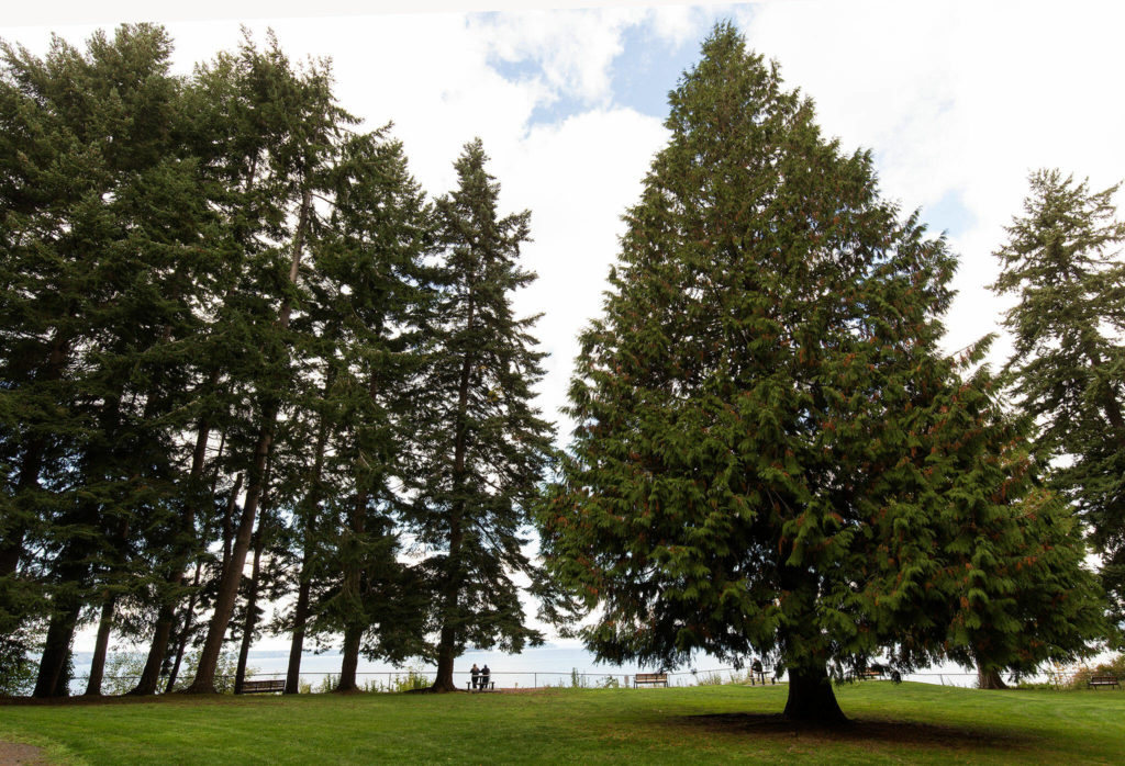 A couple is dwarfed by the western red cedars in Howarth Park on Oct. 6 in Everett. (Andy Bronson / The Herald)