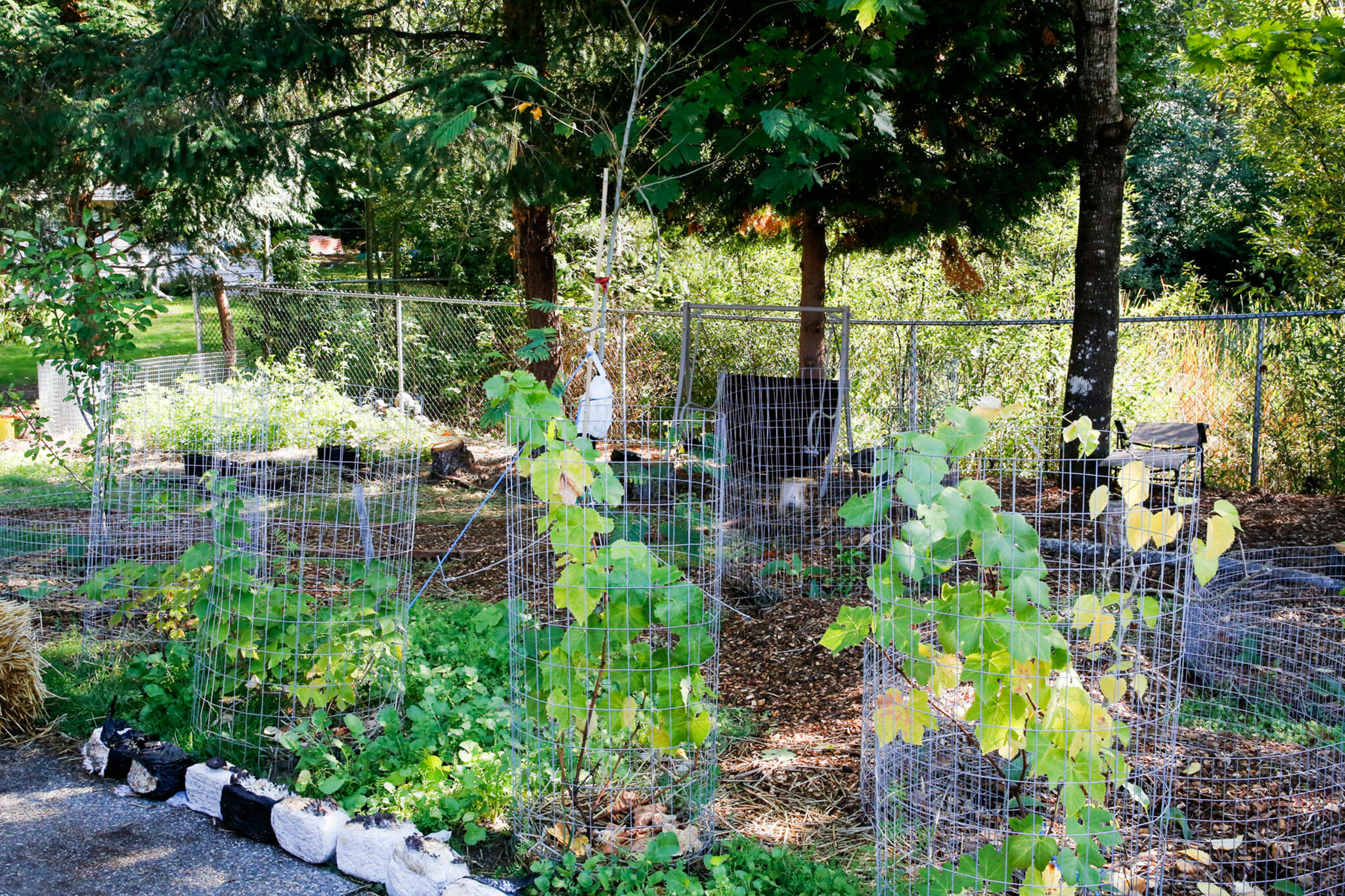 Saman Shareghi is organically farming in his parents' yard in Bothell. (Kevin Clark / The Herald)